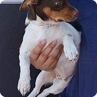 Adopt A Pet :: Gus - Renton, WA