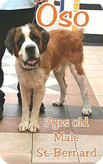 St. Bernard Dog for adoption in Austin, Texas - Oso