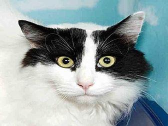 Domestic Mediumhair Cat for adoption in Alameda, California - ROCKY