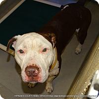Adopt A Pet :: ANGUS - Brooksville, FL