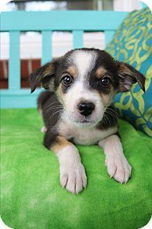 Beagle/Pomeranian Mix Puppy for adoption in Allentown, Virginia - Callen