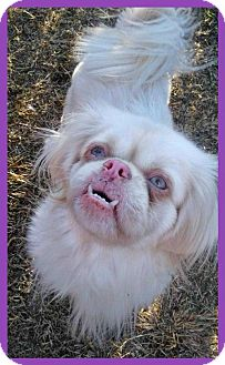 Pekingese Dog for adoption in Spartanburg, South Carolina - Lola (HW+)