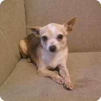 Chihuahua Dog for adoption in Bonifay, Florida - Neopolitan