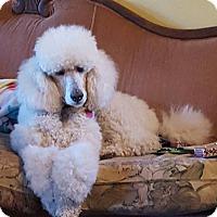 Adopt A Pet :: Winston 2 - Alpharetta, GA