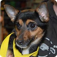 Adopt A Pet :: Clair Bear - Brooklyn, NY