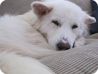 Samoyed/Husky Mix Dog for adoption in Alexandria, Virginia - Lidia