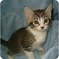 Adopt A Pet :: Mitten Kitten (Tibby) - Keizer, OR