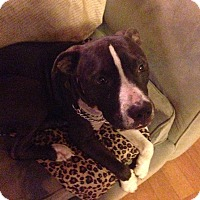 American Staffordshire Terrier Mix Dog for adoption in West Hills, California - Chance