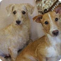 Adopt A Pet :: 'MARA' - Agoura Hills, CA