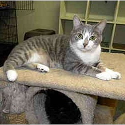 Photo 1 - Domestic Shorthair Cat for adoption in Bartlett, Illinois - Tommy