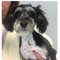 Adopt A Pet :: Josie - LEXINGTON, KY