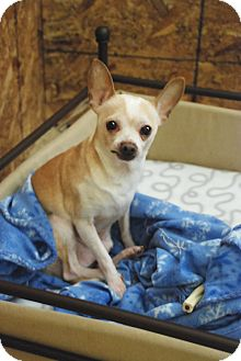 Chihuahua Dog for adoption in Virginia Beach, Virginia - Toybox