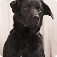 Adopt A Pet :: Rosco Labmix - St. Louis, MO