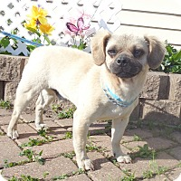 Adopt A Pet :: Wolfgang - West Chicago, IL