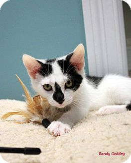 Domestic Shorthair Cat for adoption in Paris, Maine - Kittens