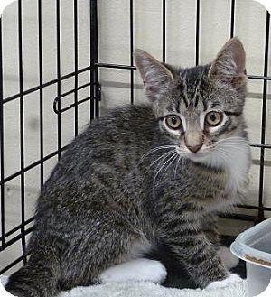 Domestic Shorthair Kitten for adoption in Massapequa, New York - Brayden
