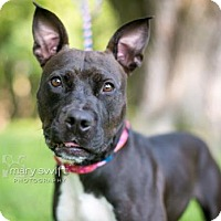 Pit Bull Terrier/Shepherd (Unknown Type) Mix Dog for adoption in Reisterstown, Maryland - Feather