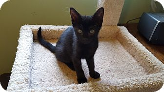 Domestic Shorthair Kitten for adoption in Berkeley Hts, New Jersey - Star