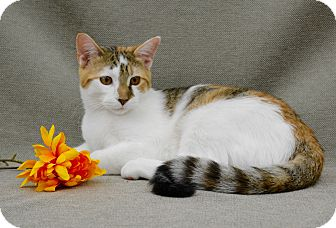 Domestic Shorthair Kitten for adoption in Richmond, Virginia - Callie