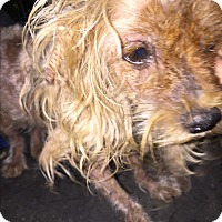 Yorkie, Yorkshire Terrier Dog for adoption in Blanchard, Oklahoma - Sparky