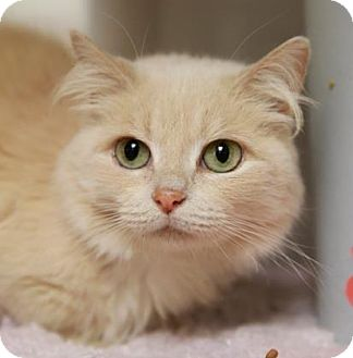 Domestic Shorthair Cat for adoption in Kettering, Ohio - Puff McFluffins
