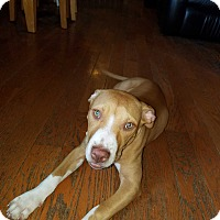 Pit Bull Terrier Mix Puppy for adoption in Chicago, Illinois - Glinda
