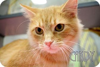 Domestic Mediumhair Cat for adoption in Gulfport, Mississippi - Candy