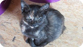 Domestic Shorthair Kitten for adoption in Aurora, Colorado - Sierra