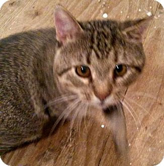 Domestic Shorthair Cat for adoption in Valley Park, Missouri - Goose
