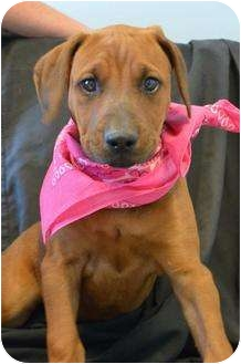 Redbone coonhound boxer mix puppy