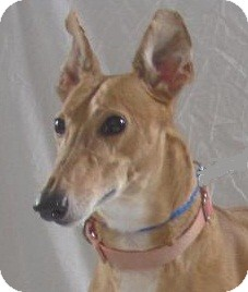 Greyhound Dog for adoption in Swanzey, New Hampshire - Erika