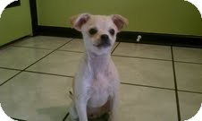 Chihuahua/Pekingese Mix Puppy for adoption in Orange Park, Florida - Rocky