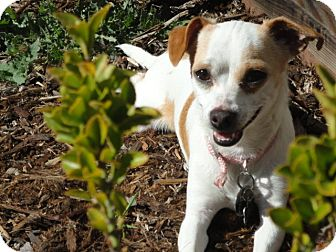 Terrier (Unknown Type, Small) Mix Dog for adoption in Santa Rosa, California - Honey