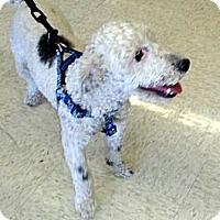 Adopt A Pet :: BoBo - Gilbert, AZ