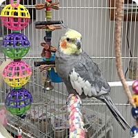 Adopt A Pet :: King - Shawnee Mission, KS