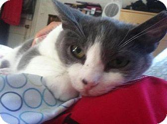 Domestic Shorthair Cat for adoption in Fredericksburg, Virginia - Link
