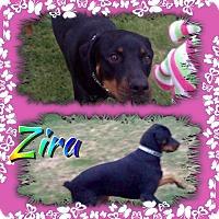 Adopt A Pet :: Zira - Gilbert, AZ