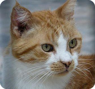 Domestic Shorthair Cat for adoption in Massapequa, New York - Louis