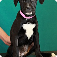 Adopt A Pet :: Lady - Waldorf, MD