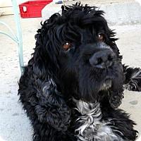 Adopt A Pet :: Star - Parker, CO