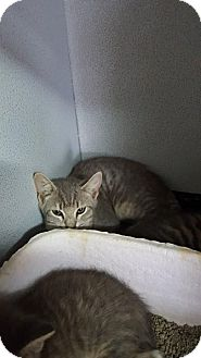 Domestic Shorthair Cat for adoption in Mount Sterling, Kentucky - Aladdin