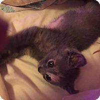 Domestic Shorthair Kitten for adoption in Caro, Michigan - Gemma