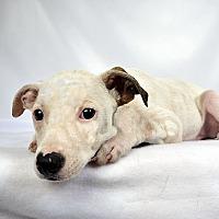 Adopt A Pet :: Frank Terrier Mix - St. Louis, MO