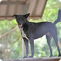 Adopt A Pet :: Lacey - Denver, CO