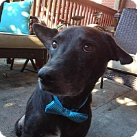 Adopt A Pet :: Amon - Whitestone, NY