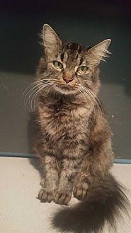 Domestic Mediumhair Cat for adoption in Livonia, Michigan - Bre