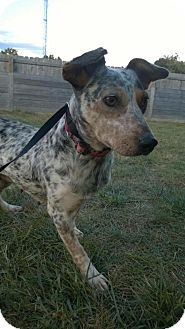 Australian Cattle Dog Mix Dog for adoption in Cincinnati, Ohio - Emilee
