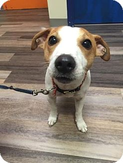Jack Russell Terrier Mix Dog for adoption in Adrian, Michigan - Rosco