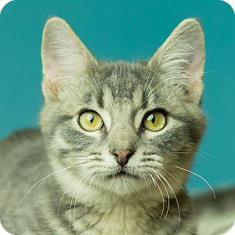 Domestic Shorthair Kitten for adoption in Columbia, Illinois - Blake