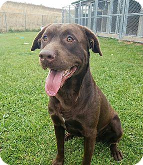 Labrador Retriever Dog for adoption in Moberly, Missouri - Edmond